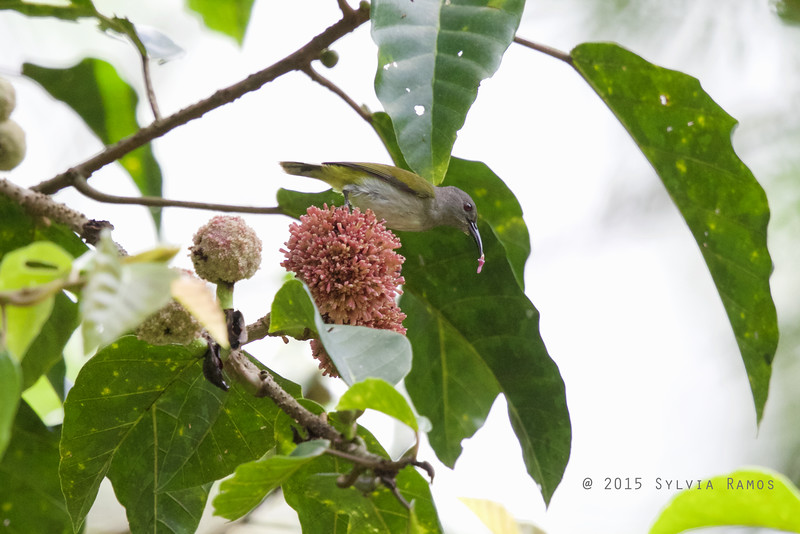GREY HOODED SUNBIRD