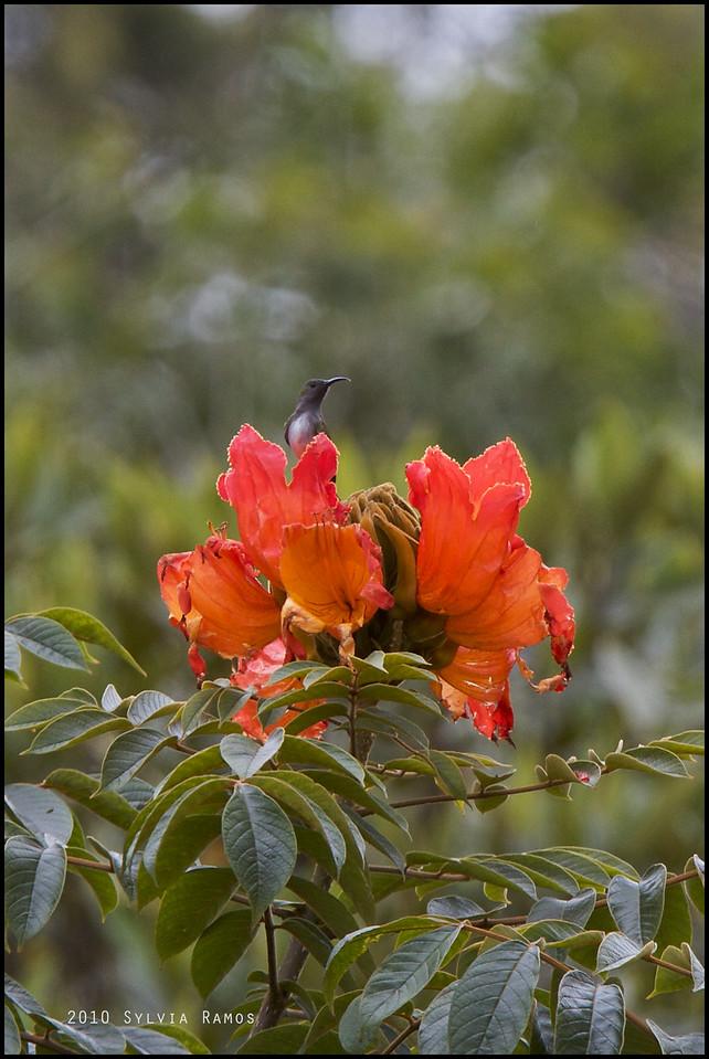 GREY HOODED SUNBIRD <i>Aethopyga primigenia</i> Mt. Kitanglad, Bukidnon