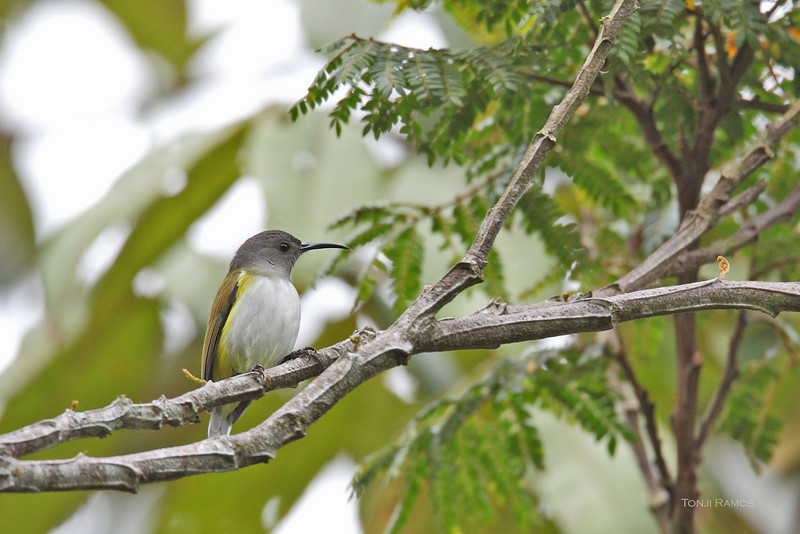 GREY HOODED SUNBIRD <i>Aethopyga primigenia</i> Mt. Kitanglad, Bukidnon