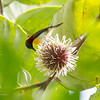 HANDSOME SUNBIRD <i>Aethopyga bella bonita</i> Nug-as, Alcoy, Cebu  This is the Cebu race. It has a lot of red on the chest, similar to the Lovely Sunbird <i>Aethopyga shelleyi </i> found in Palawan.