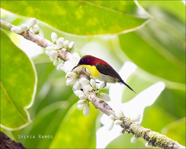 HANDSOME SUNBIRD <i>Aethopyga bella</i> PICOP, Bislig, Surigao del Sur