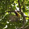 LOVELY SUNBIRD, male <i>Aethopyga shelleyi</i> Sabang, Palawan  Hitting the bullseye!
