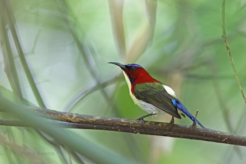 LOVELY SUNBIRD, male <i>Aethopyga shelleyi</i> Iwahig, Palawan