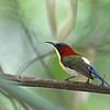 LOVELY SUNBIRD, male <i>Aethopyga shelleyi</i> Iwahig, Palawan