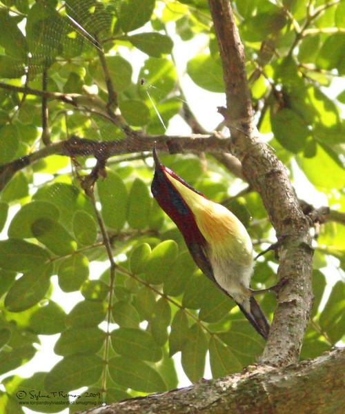 LOVELY SUNBIRD, male <i>Aethopyga shelleyi</i> Sabang, Palawan