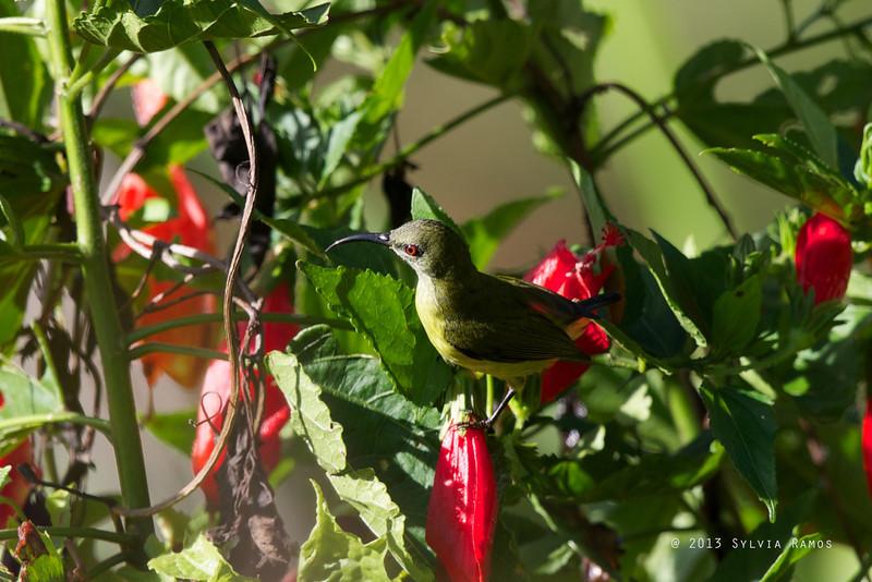 Luzon Sunbird <i>Aethopyga jefferyi</i> Mt. Polis, Banaue, Philippines