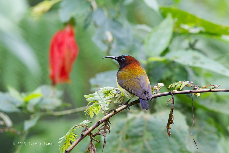MAROON NAPED SUNBIRD <i>Aethopiga guamarasensis</i> Lake Balinsasayao, Sibulan, Negros Occidental