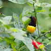 MAROON NAPED SUNBIRD <i>Aethopiga guamarasensis</i> Lake Balinsasayao, Sibulan, Negros Occidental