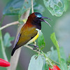 MAROON NAPED SUNBIRD <i>Aethopiga guamarasensis</i> Lake Balinsasayao, Sibulan, Negros Occidental  you can see the tongue