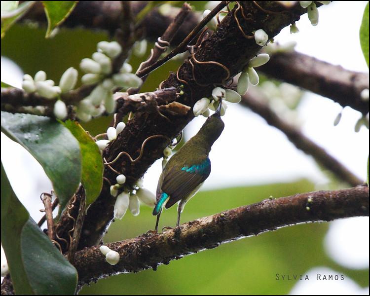 METALLIC-WINGED SUNBIRD <i>Aethopyga pulcherrima</i> PICOP, Bislig, Surigao del Sur