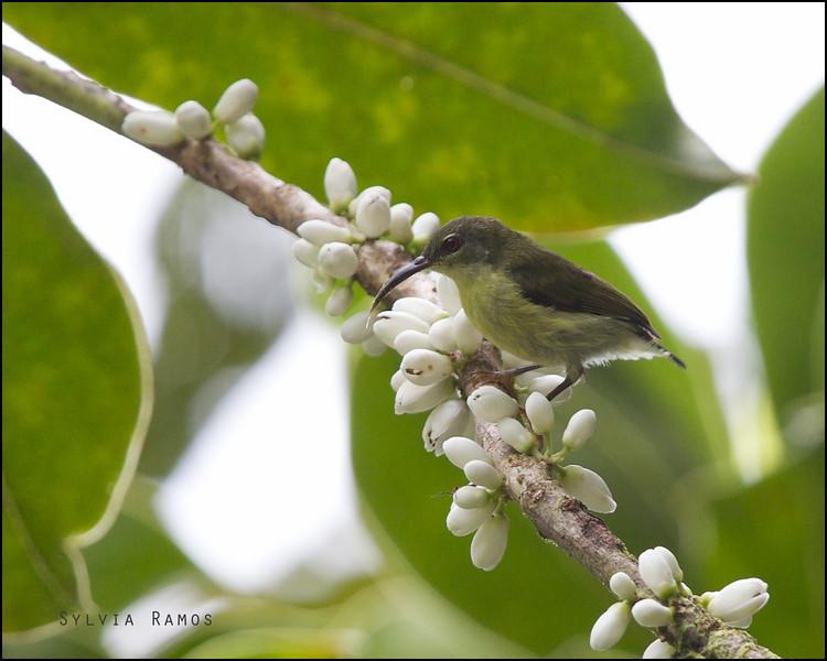 METALLIC-WINGED SUNBIRD, female <i>Aethopyga pulcherrima</i> PICOP, Bislig, Surigao del Sur