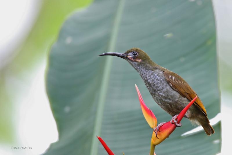 NAKED-FACED SPIDERHUNTER <i>Arachnothera clarae</i> La Mesa Ecopark, Quezon City, Philippines