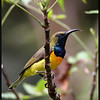 OLIVE BACKED SUNBIRD, male <i>Nectarinia jugularis</i> Coron, Palawan, Philippines  This is the <em>aurora</em> race, which has orange on the chest area.