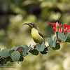 OLIVE BACKED SUNBIRD, female <i>Nectarinia jugularis</i> Los Baños, Laguna, Philippines