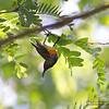 OLIVE BACKED SUNBIRD, male <i>Nectarinia jugularis</i> Sabang, Palawan, Philippines