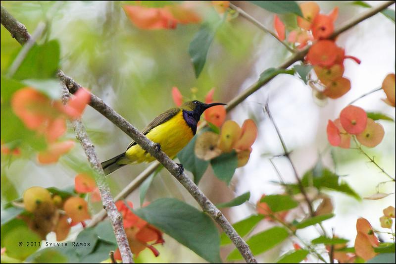 OLIVE BACKED SUNBIRD <i>Nectarinia jugularis</i> Valencia, Negros Oriental, Philippines  The Olive-backed sunbirds in Negros Oriental also have orange below the breast, like the <i>aurora</i> subspecies.
