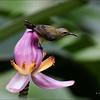 OLIVE BACKED SUNBIRD <i>Nectarinia jugularis</i> Antipolo, Rizal