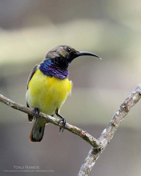 OLIVE BACKED SUNBIRD, male <i>Nectarinia jugularis</i> Los Baños, Laguna, Philippines