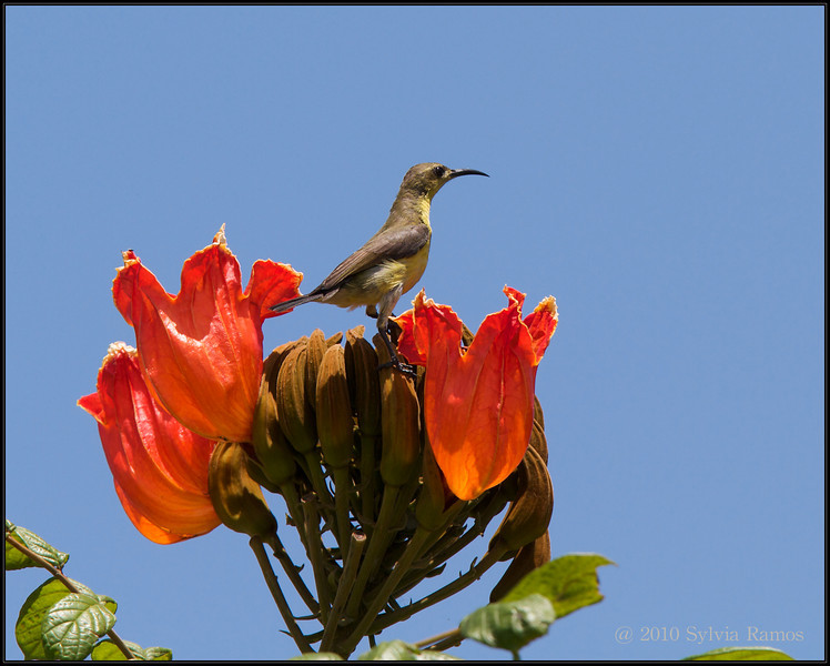 OLIVE BACKED SUNBIRD <i>Nectarinia jugularis</i> Alabang, Philippines