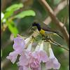 OLIVE BACKED SUNBIRD <i>Nectarinia jugularis</i> Alabang, Philippines