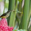 ORANGE TUFTED SPIDERHUNTER <i>Arachnothera flammifera</i> Pasonanca, Zamboanga  you can see the tongue of the bird!