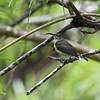 PALE SPIDERHUNTER <i>Arachnothera dilutior </i> Sabang, Palawan, Philippines