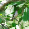 PALE SPIDERHUNTER <i>Arachnothera dilutior </i> Puerto Princesa, Palawan, Philippines