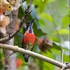 PURPLE THROATED SUNBIRD <i>Nectarinia sperata</i> Forest Camp, Valencia, Negros Oriental