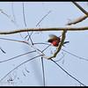 PURPLE THROATED SUNBIRD <i>Nectarinia sperata</i> Mt. Makiling, Laguna