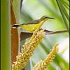 PURPLE THROATED SUNBIRD, female <i>Nectarinia sperata</i> Simply Butterflies Resort, Bilar, Bohol