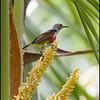 PURPLE THROATED SUNBIRD, immature <i>Nectarinia sperata</i> Simply Butterflies Resort, Bilar, Bohol