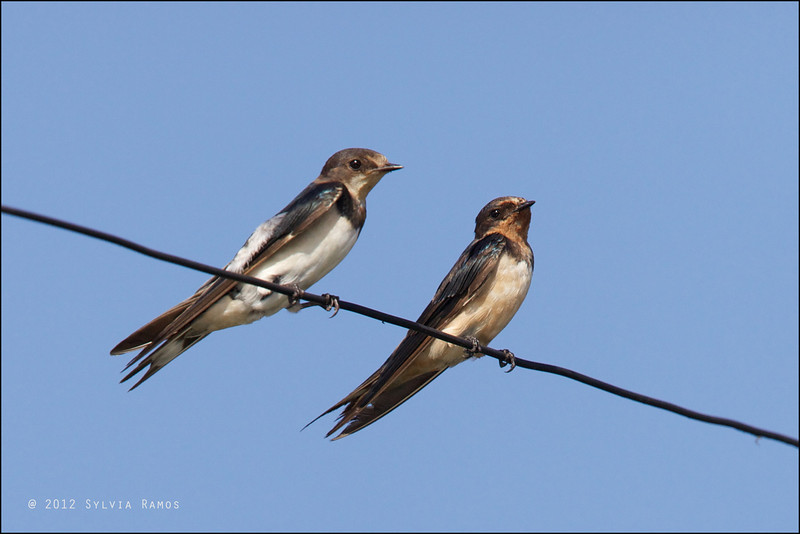 BARN SWALLOW, immature and adult <i>Hirundo rustica</i> Manila Bay, Pampanga