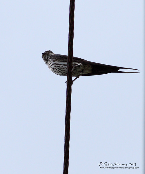 STRIATED SWALLOW <i>Cecropis striolata</i> Mt. Palay Palay, Cavite, Philippines