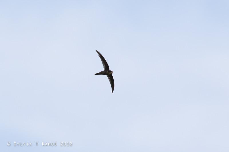 ASIAN PALM SWIFT