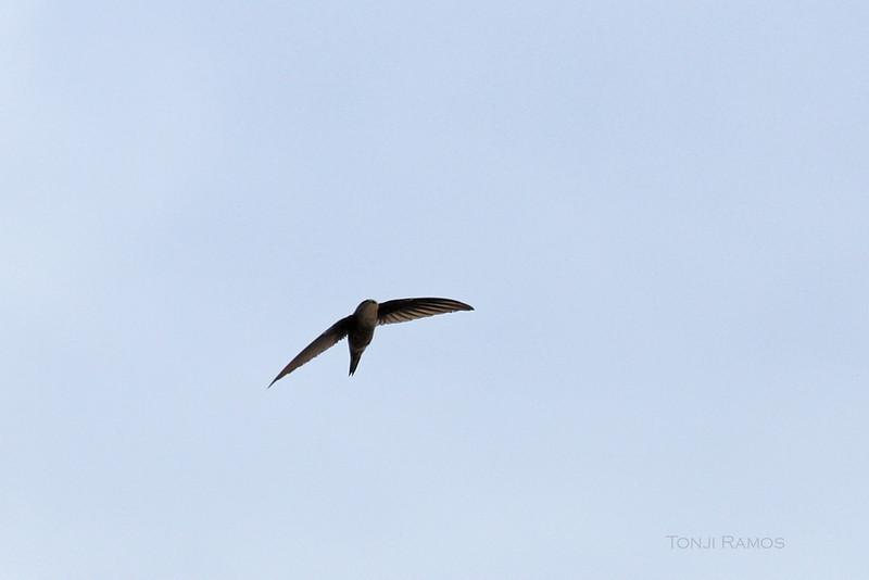ASIAN PALM SWIFT <i>Cypsiurus balasiensis</i> Mapawa Nature Reserve, Malasag, Cagayan de Oro