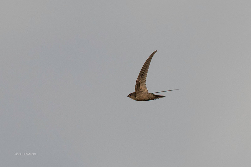 ASIAN PALM SWIFT <i>Cypsiurus balasiensis</i> Rosario, Batangas
