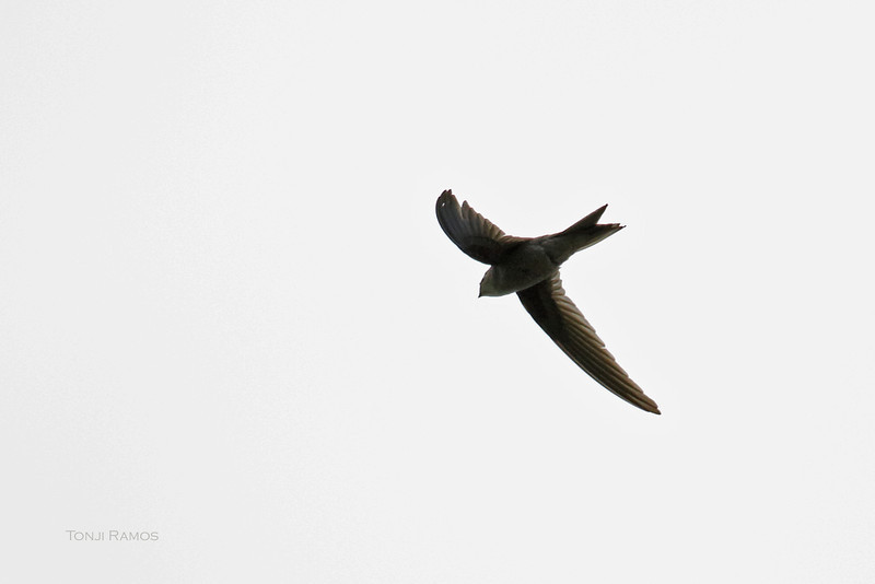 ASIAN PALM SWIFT <i>Cypsiurus balasiensis</i> UPLB, Laguna