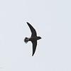 BROWN-BACKED NEEDLETAIL <i>Hirundapus giganteus</i> Narra, Palawan  the tail feathers spread open