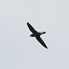 BROWN-BACKED NEEDLETAIL <i>Hirundapus giganteus</i> Narra, Palawan