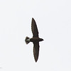 BROWN-BACKED NEEDLETAIL <i>Hirundapus giganteus</i> Narra, Palawan