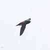BROWN-BACKED NEEDLETAIL <i>Hirundapus giganteus</i> Narra, Palawan  bird showing its brown back