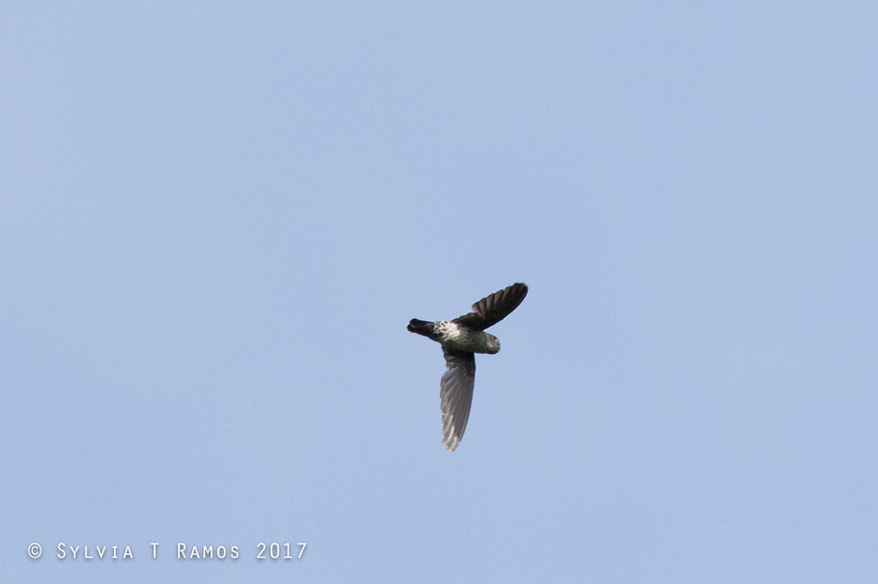 GLOSSY SWIFTLET