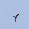GREY-RUMPED SWIFTLET