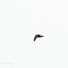 HOUSE SWIFT <i>Apus nipalensis</i> Banaue Hotel, Banaue