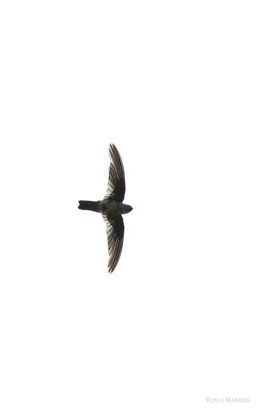 UNIFORM SWIFTLET <i>Aerodramus vanikorensis</i> Rajah Sikatuna National Park, Bohol