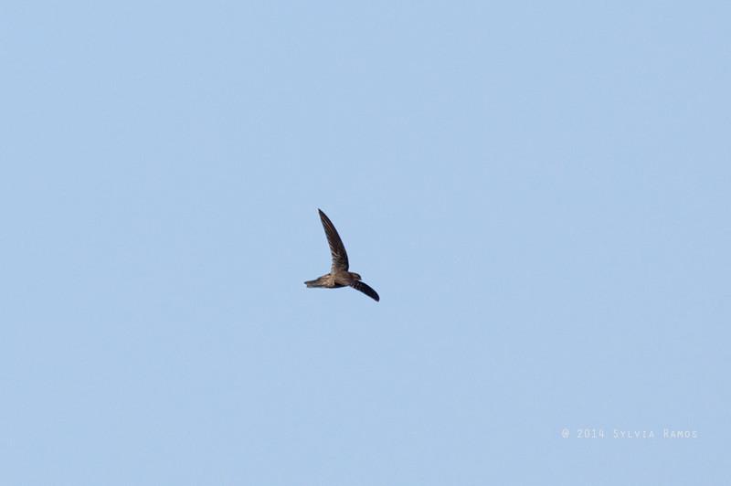 UNIFORM SWIFTLET <i>Aerodramus vanikorensis</i> Laoag, Ilocos Norte