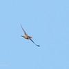 UNIFORM SWIFTLET <i>Aerodramus vanikorensis</i>  aka Palawan Swiftlet (other taxon) <i>Collocalia palawanensis</i>  Sabang, Palawan