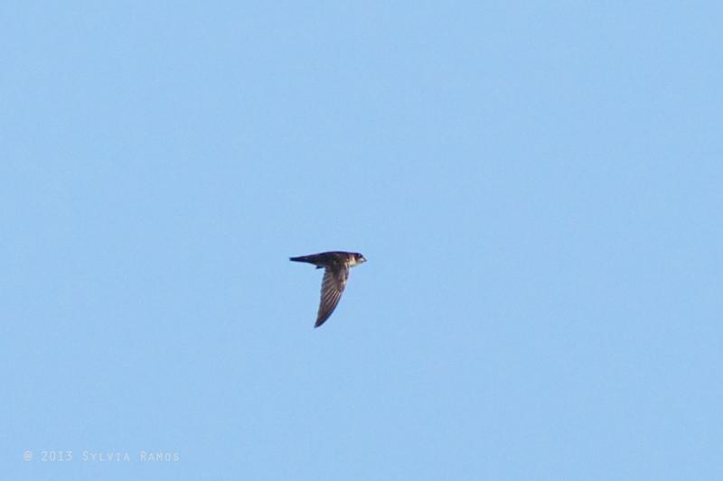 ISLAND SWIFTLET  aka Uniform Swiftlet (IOC) <i>Aerodramus vanikorensis</i>  aka Palawan Swiftlet (other taxon) <i>Collocalia palawanensis</i>  Sabang, Palawan
