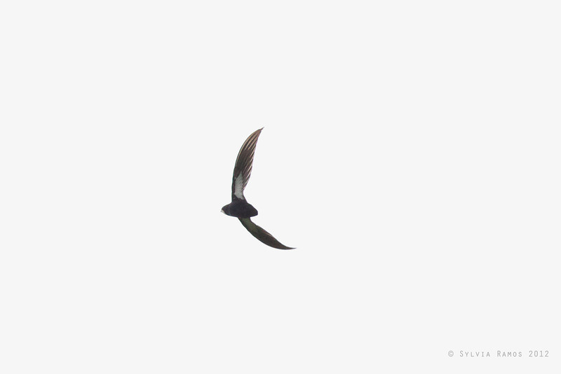 PHILIPPINE SPINE-TAILED SWIFT <i>Mearnsia picina</i> Pasonanca,  Zamboanga