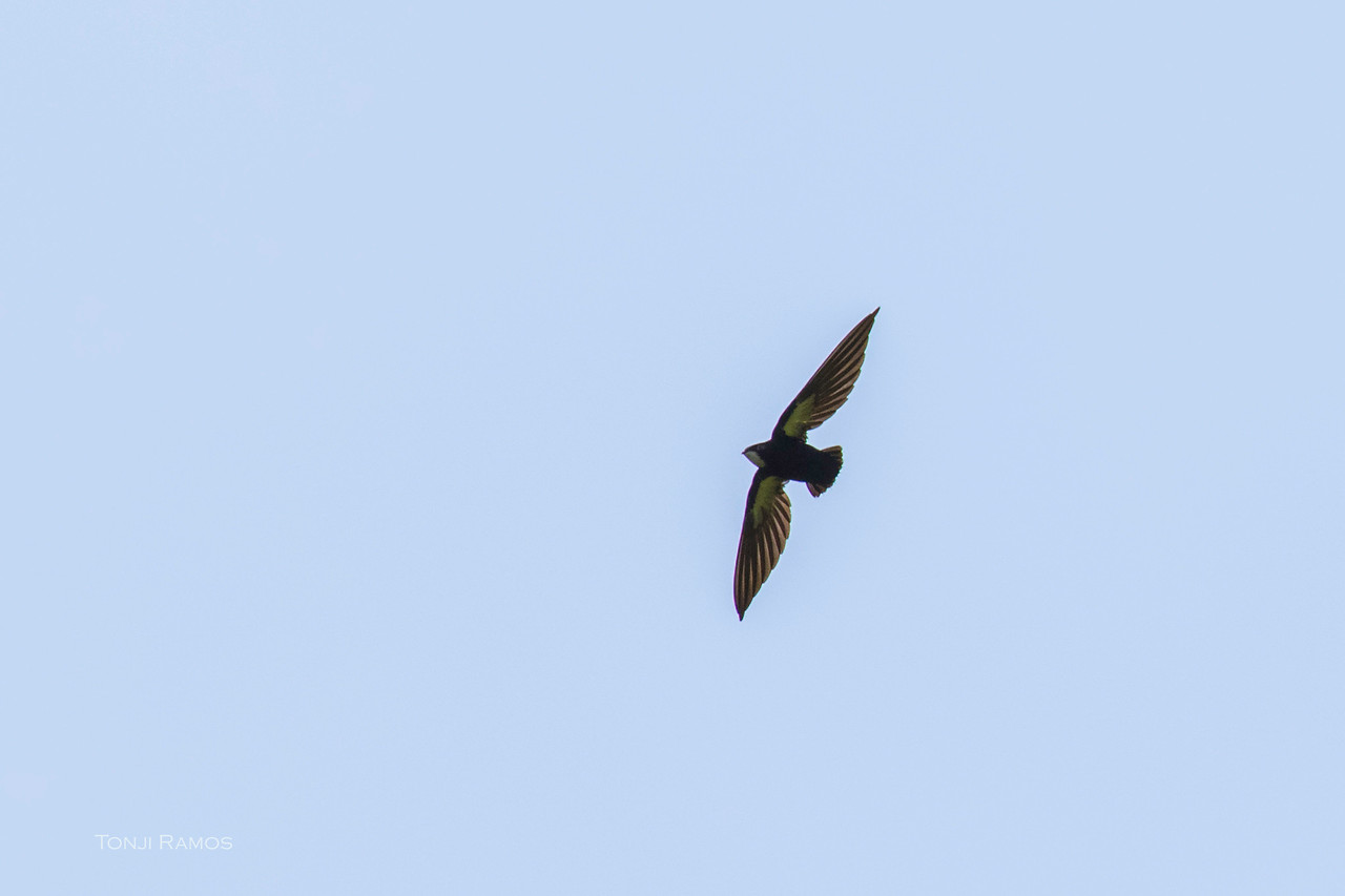 PHILIPPINE SPINE-TAILED SWIFT <i>Mearnsia picina</i> Twin Lakes, Negros Oriental
